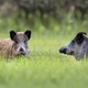 Wild boars in a clearing - PhotoDune Item for Sale