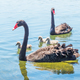Free Download Black Swan Family Nulled