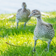 Free Download Australian Wood Duck Ducklings Nulled