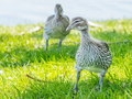 Australian Wood Duck Ducklings - PhotoDune Item for Sale