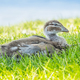 Free Download Australian Wood Duck Duckling Nulled