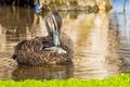 Pacific Black Duck Grooming Itself - PhotoDune Item for Sale