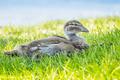 Australian Wood Duck Duckling - PhotoDune Item for Sale