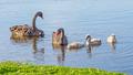 Black Swan Family - PhotoDune Item for Sale