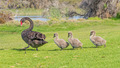Black Swan Walking With Cygnets - PhotoDune Item for Sale