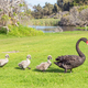 Free Download Black Swan Walking With Cygnets Nulled