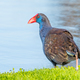 Free Download Purple Swamphen at Water's Edge Nulled