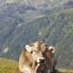 Cow grazing in the mountains. Livestock. Idyllic landscape. Cattle - PhotoDune Item for Sale