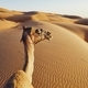 Free Download Camel on sand dune Nulled