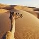 Camel on sand dune - PhotoDune Item for Sale