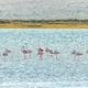 Greater flamingos at Geelbek Bird Hide on the Langebaan Lagoon - PhotoDune Item for Sale