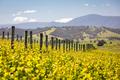 Yarra Valley Vineyard - PhotoDune Item for Sale