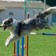 Dog at the Agility Competition - PhotoDune Item for Sale