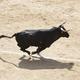 Fighting bull running in the arena. Bullring. Toro bravo. Spain - PhotoDune Item for Sale