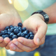 Free Download Blueberry in the hands of the farmer, man, fruit, food, nature Nulled