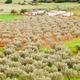 Free Download Greek olive Olea europaea orchard farm Nulled
