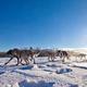 Yukon Quest Dog Team pulling Sled - PhotoDune Item for Sale