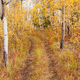 Free Download Taiga golden aspen boreal forest trail Yukon fall Canada Nulled