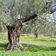 Olive trees orchard Greece Europe - PhotoDune Item for Sale