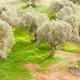 Olive trees Olea europaea orchard - PhotoDune Item for Sale