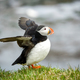 Atlantic Puffin - PhotoDune Item for Sale