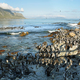 Free Download African penguins in Betty's bay Nulled