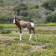Free Download Bontebok in De hoop nature reserve Nulled