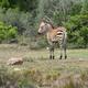 Free Download Young Zebra in De hoop nature reserve Nulled