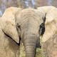 Elephant, a portrait  - PhotoDune Item for Sale
