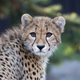 Young Cheetah, a portrait  - PhotoDune Item for Sale