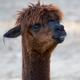 Brown Alpaca, a portrait  - PhotoDune Item for Sale
