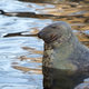 Seal in the wild  - PhotoDune Item for Sale