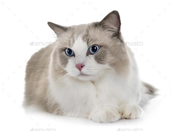 ragdoll cat in studio - Stock Photo - Images