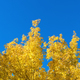 Free Download autumn leaves against a blue sky Nulled