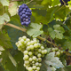 Bunches of grapes with green leaves background. Harvest time. Vertical - PhotoDune Item for Sale