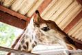 Giraffe in zoo exits outside - PhotoDune Item for Sale