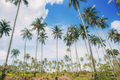 Palm tree in farm with sky - PhotoDune Item for Sale