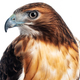 Red Hawk Closeup - PhotoDune Item for Sale