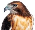 Red Hawk Closeup - PhotoDune Item for Sale