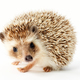 hedgehog, erinaceus albiventris - PhotoDune Item for Sale