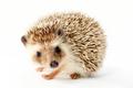 hedgehog, erinaceus albiventris - PhotoDune Item for Sale