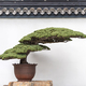 ancient pine bonsai with traditional chinese walls - PhotoDune Item for Sale