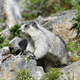 Free Download Cute marmot in Glacier national park, USA Nulled