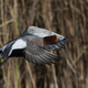 Eurasian wigeon (Mareca penelope) - PhotoDune Item for Sale