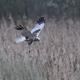 Western marsh harrier (Circus aeruginosus) - PhotoDune Item for Sale