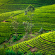 Tea plantation - PhotoDune Item for Sale