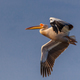 white pelican in Danube Delta, Romania - PhotoDune Item for Sale