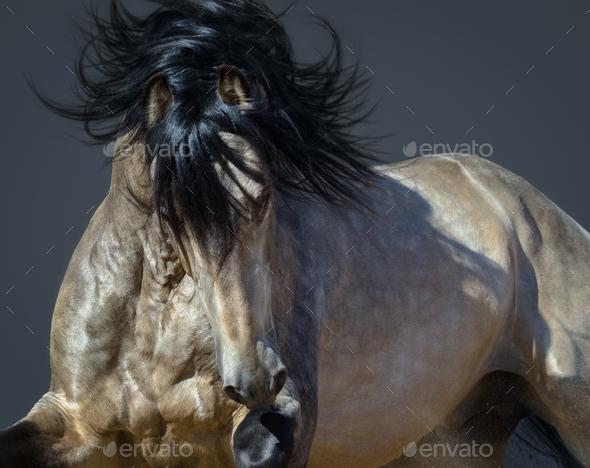 Golden dun Purebred Andalusian horse. - Stock Photo - Images