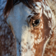 Portrait of rare mixed breed of Spanish and Appaloosa horse. - PhotoDune Item for Sale