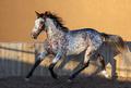 Beautiful rare mixed breed of Spanish and Appaloosa horse. - PhotoDune Item for Sale